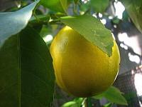 5月に咲くみかんの花とレモンの花とライムの花_d0337937_16355210.jpg