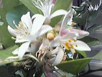 5月に咲くみかんの花とレモンの花とライムの花_d0337937_17002705.jpg