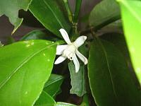 5月に咲くみかんの花とレモンの花とライムの花_d0337937_17002728.jpg