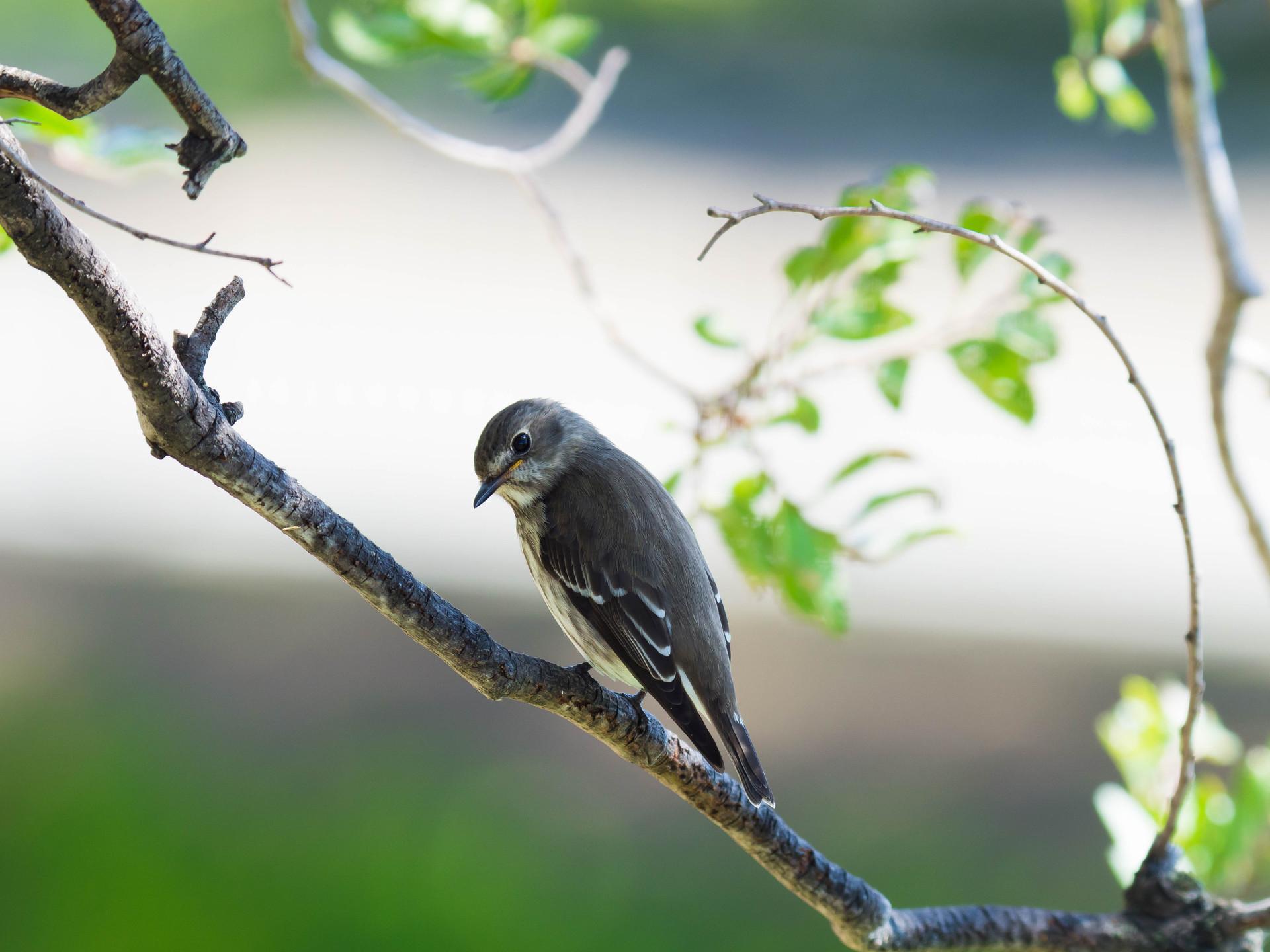エゾビタキ : 自分で野鳥図鑑