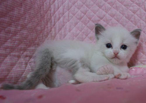 ラグドール赤ちゃん ブルーポイントバイカラー男の子 4月13日生まれ_e0033609_16373192.jpg