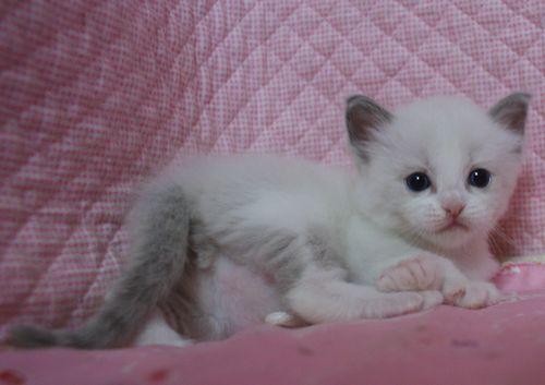 ラグドール赤ちゃん ブルーポイントバイカラー男の子 4月13日生まれ_e0033609_16374814.jpg