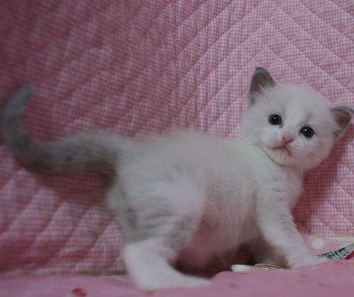 ラグドール赤ちゃん ブルーポイントバイカラー男の子 4月13日生まれ_e0033609_16380628.jpg