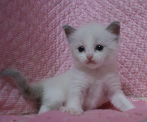 ラグドール赤ちゃん ブルーポイントバイカラー男の子 4月13日生まれ_e0033609_16382828.jpg