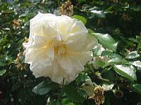 5月〜薔薇によせて〜_d0337937_07491685.jpg