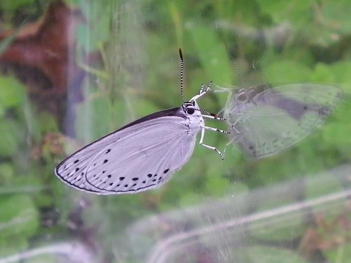ミドリシジミの蛹化とウラゴマダラシジミの羽化_d0254540_1874767.jpg