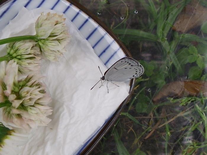 ミドリシジミの蛹化とウラゴマダラシジミの羽化_d0254540_1884467.jpg