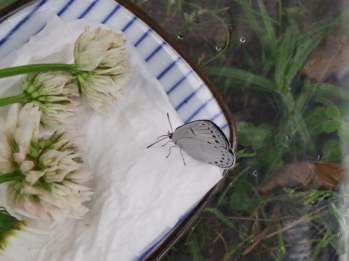 ミドリシジミの蛹化とウラゴマダラシジミの羽化_d0254540_189345.jpg
