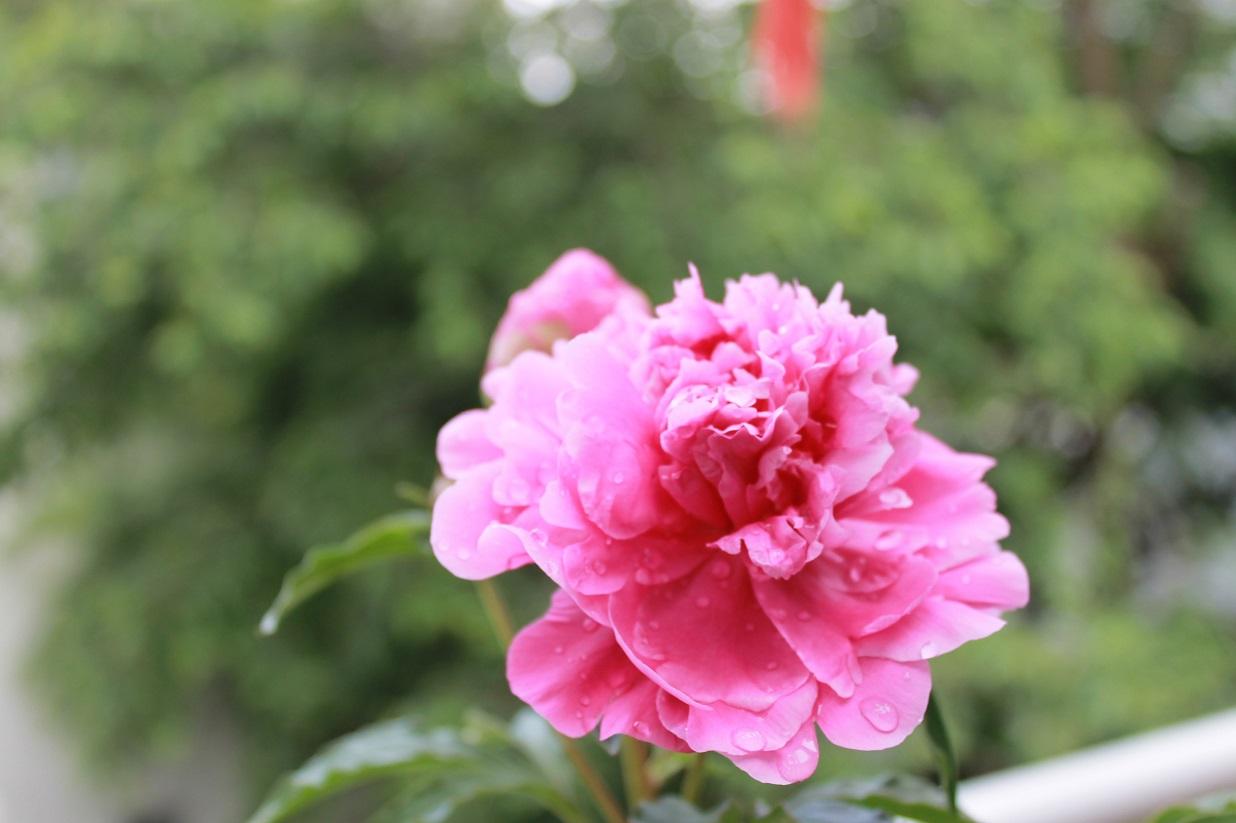 薔薇と芍薬とも美しいです。_f0070743_10124838.jpg