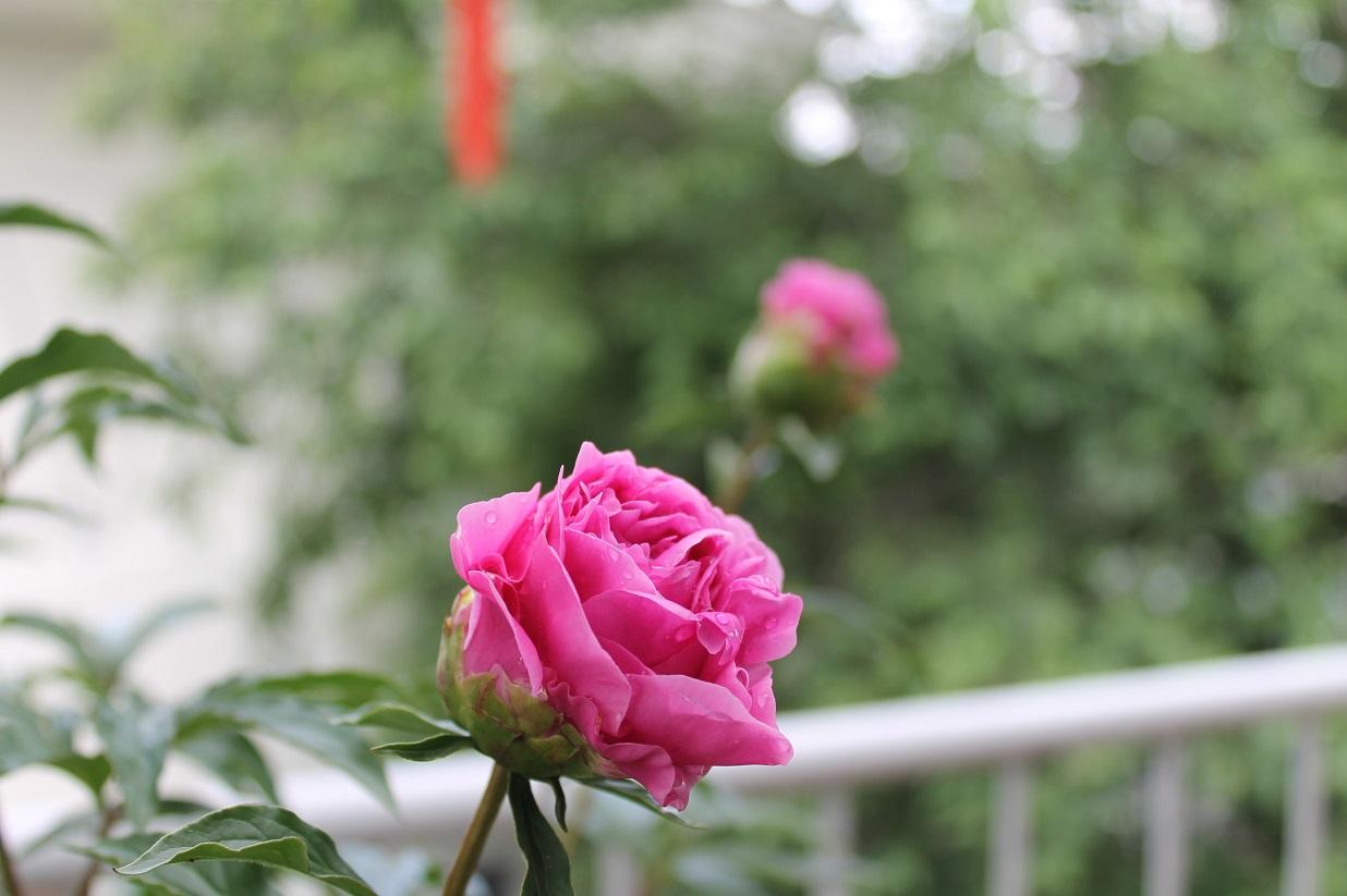 薔薇と芍薬とも美しいです。_f0070743_10125620.jpg