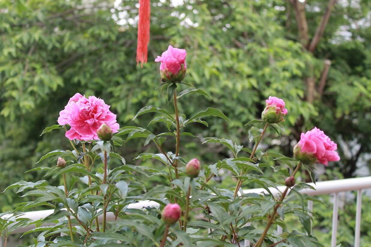 薔薇と芍薬とも美しいです。_f0070743_10131244.jpg