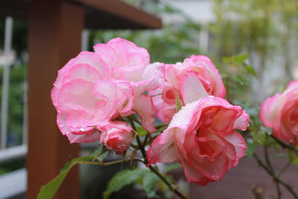 薔薇と芍薬とも美しいです。_f0070743_10132051.jpg
