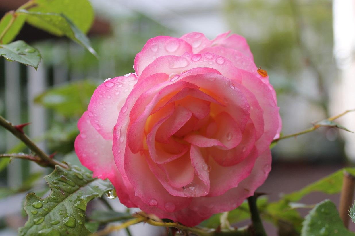 薔薇と芍薬とも美しいです。_f0070743_10132956.jpg