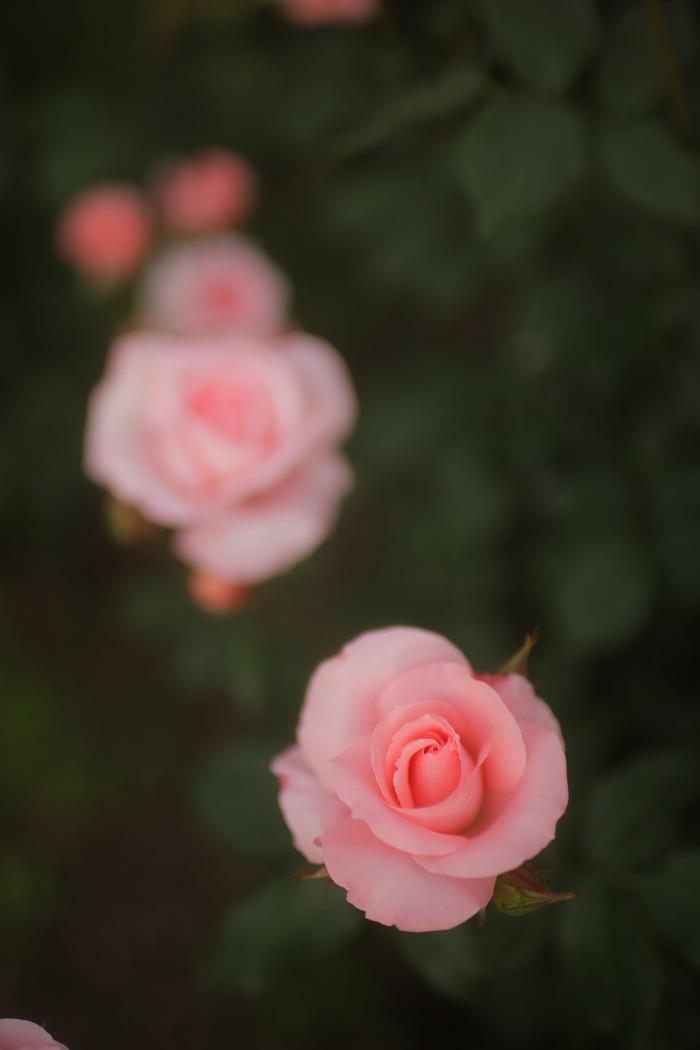 薔薇 2016 _f0021869_001210.jpg