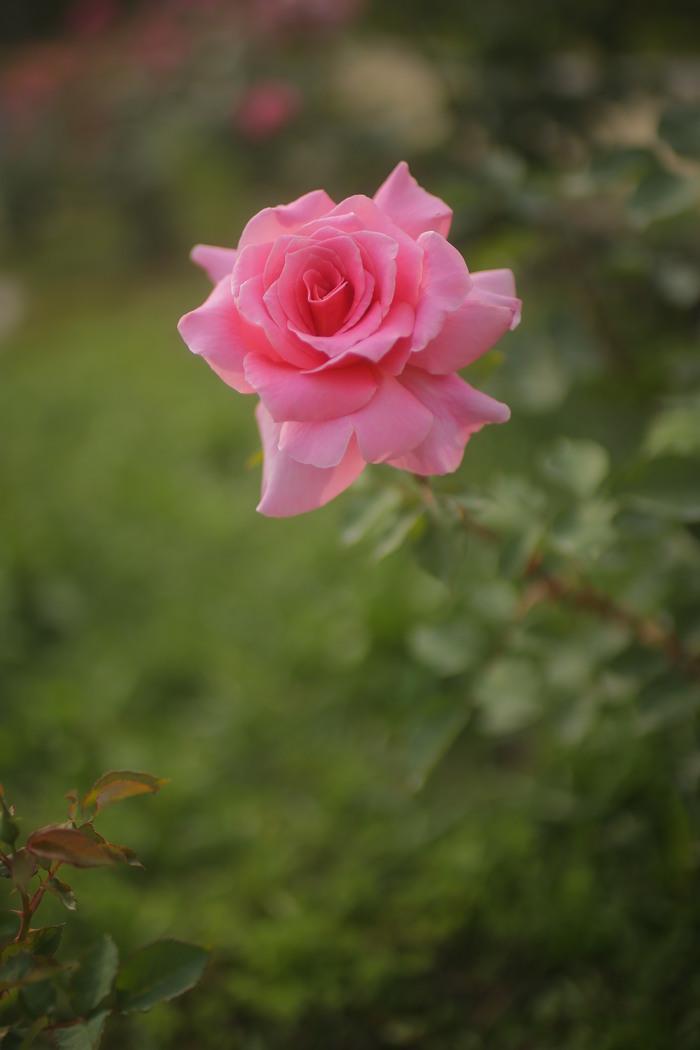 薔薇 2016 _f0021869_2346222.jpg
