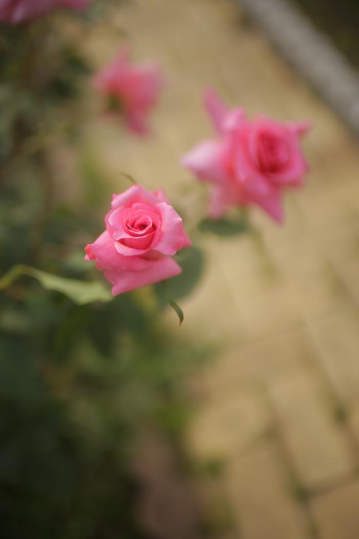 薔薇 2016 _f0021869_23485575.jpg