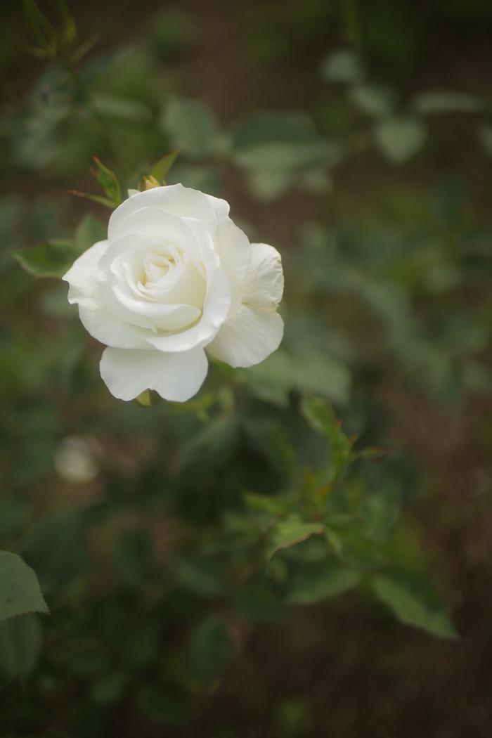 薔薇 2016 _f0021869_23565861.jpg