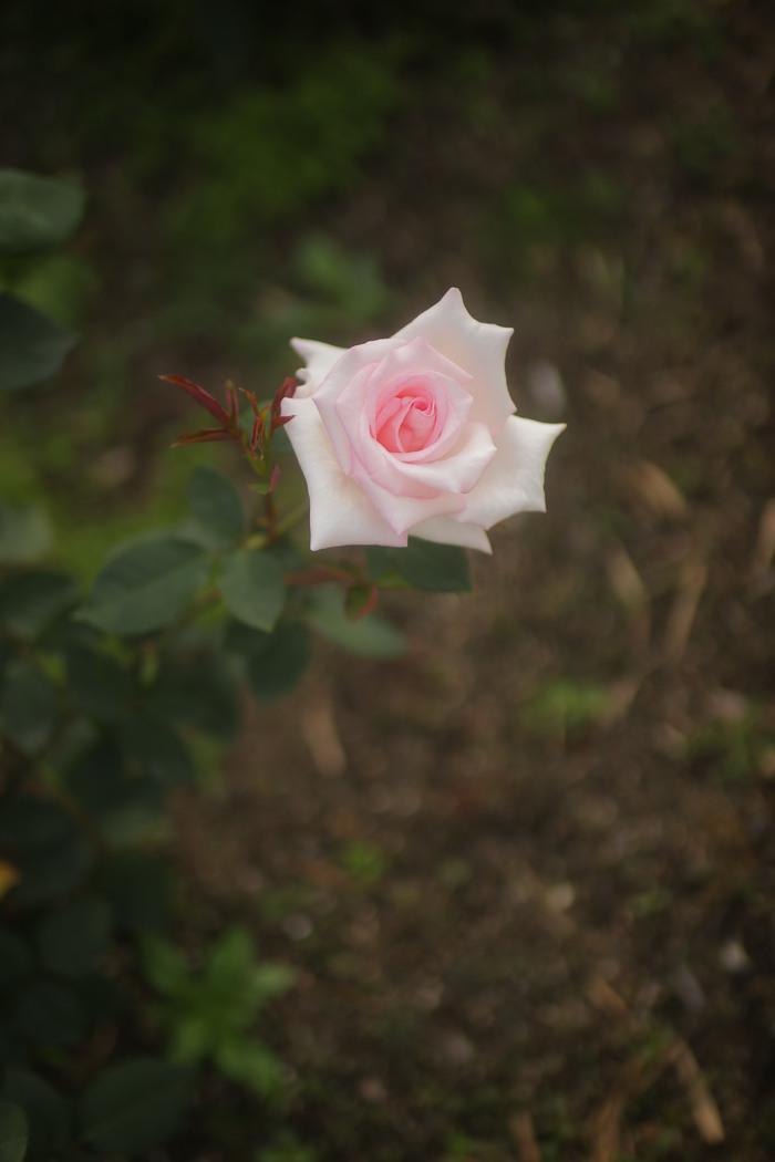 薔薇 2016 _f0021869_23575760.jpg