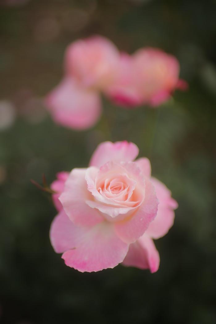 薔薇 2016 _f0021869_2359455.jpg