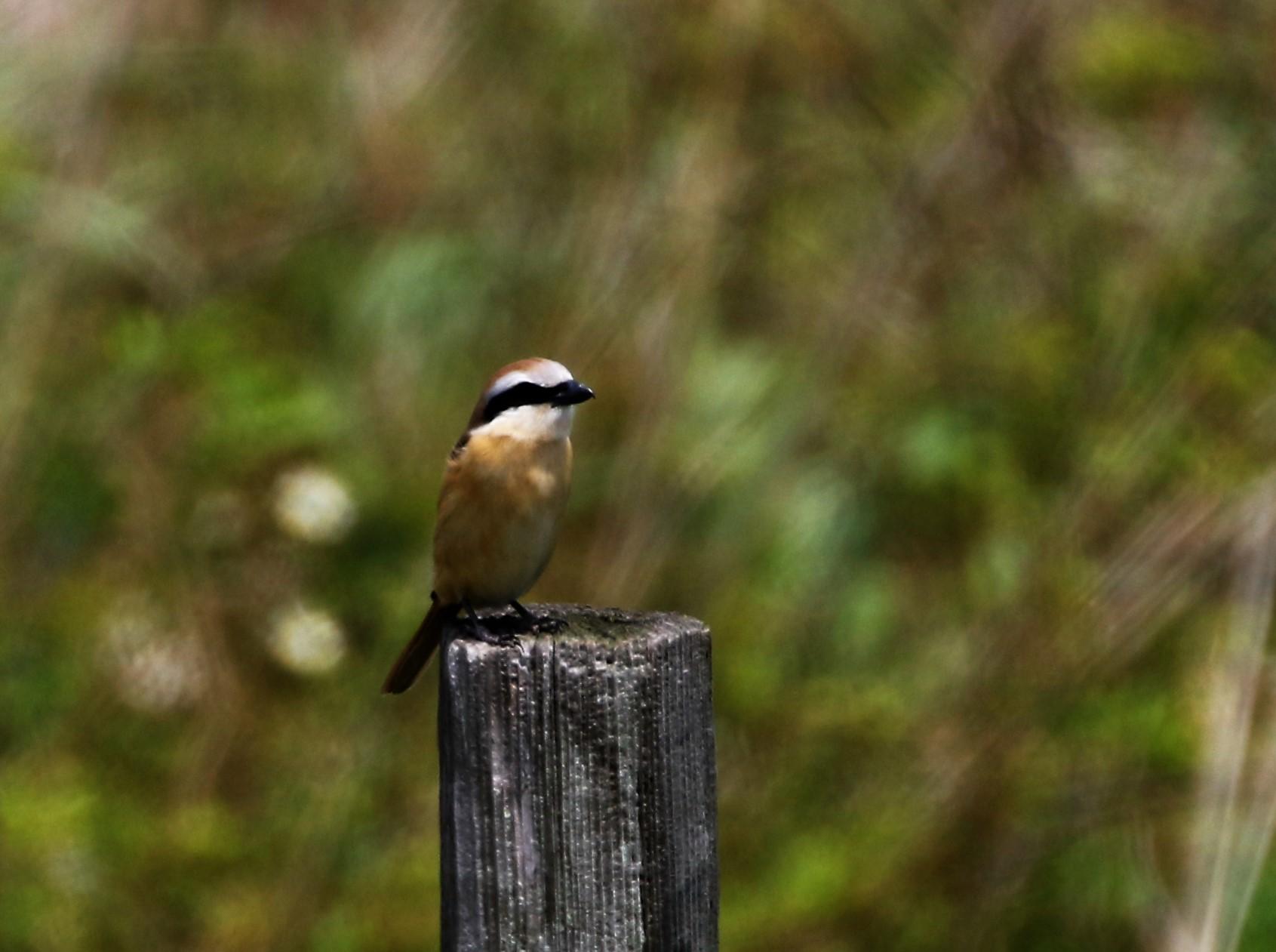 見島で出会った可愛い小鳥ちゃん_e0018678_12475653.jpg