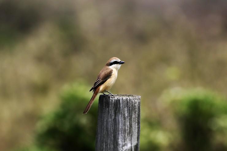 見島で出会った可愛い小鳥ちゃん_e0018678_131752.jpg