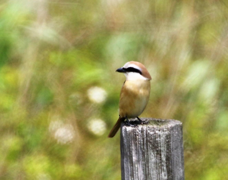 見島で出会った可愛い小鳥ちゃん_e0018678_1385972.jpg