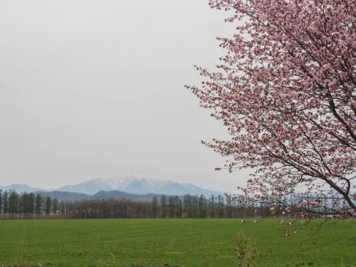 中札内らしい風景に・・「村道沿いの一本桜」が咲きました。_f0276498_21321709.jpg