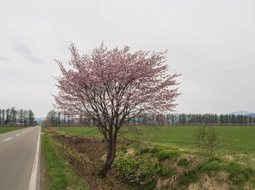 中札内らしい風景に・・「村道沿いの一本桜」が咲きました。_f0276498_21324847.jpg
