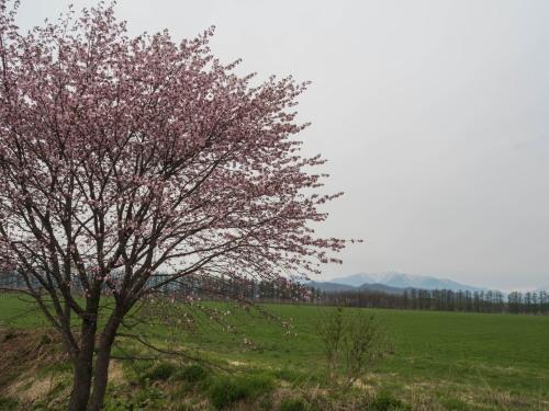 中札内らしい風景に・・「村道沿いの一本桜」が咲きました。_f0276498_21343876.jpg