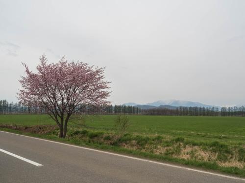 中札内らしい風景に・・「村道沿いの一本桜」が咲きました。_f0276498_21351014.jpg