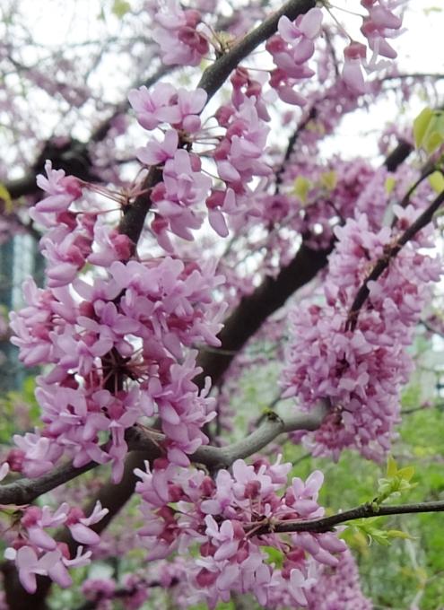空中公園ハイラインの春のお花いろいろ_b0007805_774530.jpg