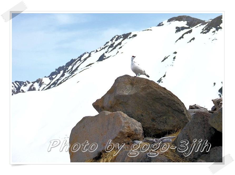 純白のライチョウ、スックと岩場に立つ姿、やっぱ良いですね_b0346933_6103723.jpg
