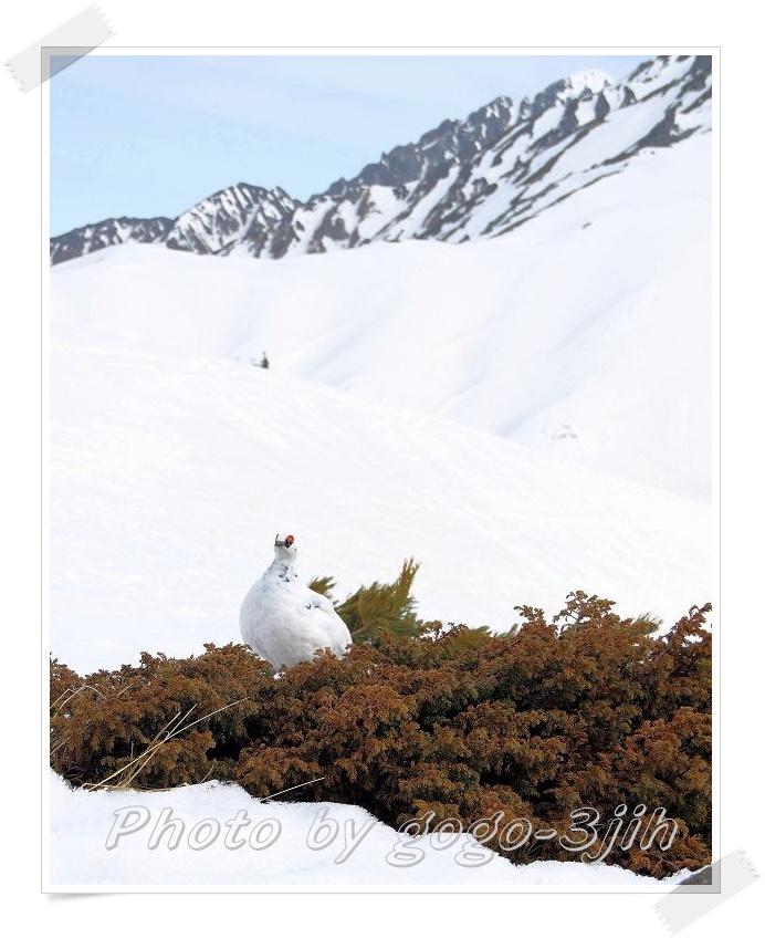 純白のライチョウ、スックと岩場に立つ姿、やっぱ良いですね_b0346933_610457.jpg