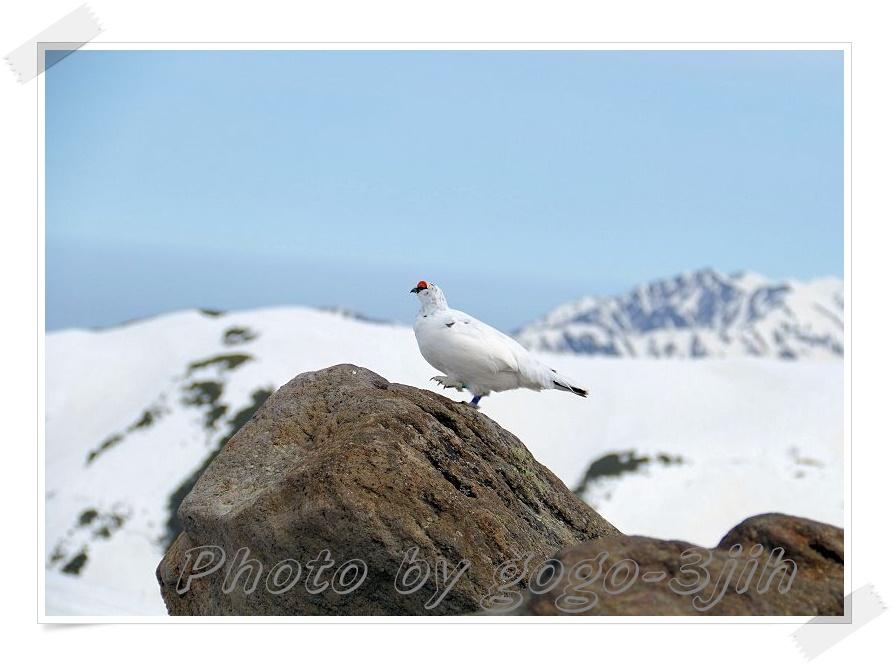 純白のライチョウ、スックと岩場に立つ姿、やっぱ良いですね_b0346933_6105349.jpg
