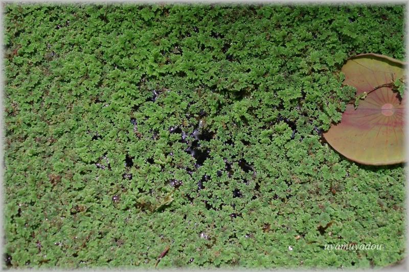 京都府立植物園・あじさい園のハス池_a0157263_22562021.jpg