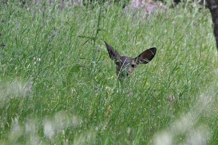 Deer_a0126969_5452528.jpg