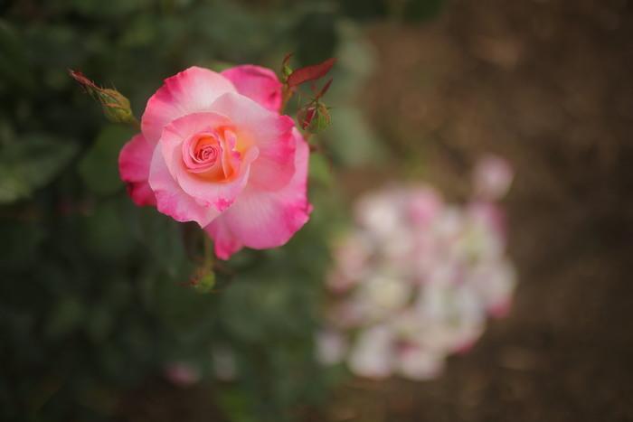 薔薇 2016 _f0021869_23504860.jpg