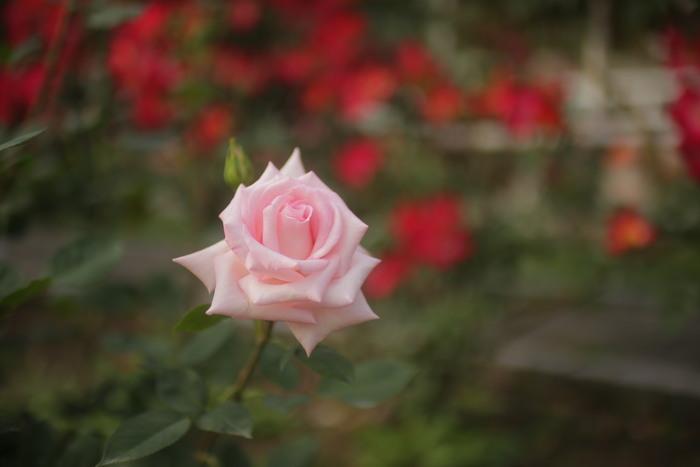 薔薇 2016 _f0021869_23512486.jpg
