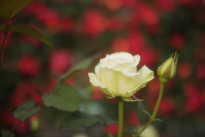 薔薇 2016 _f0021869_23513627.jpg