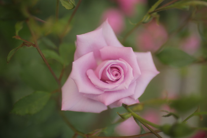 薔薇 2016 _f0021869_23515484.jpg