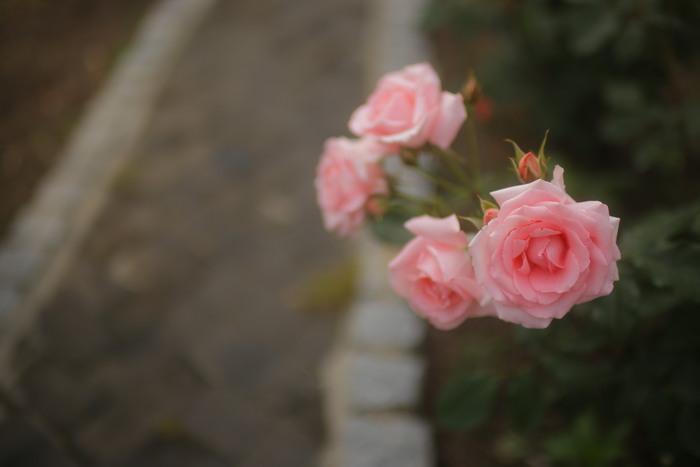 薔薇 2016 _f0021869_23521477.jpg