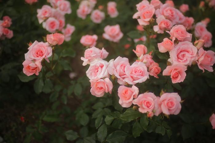 薔薇 2016 _f0021869_23522774.jpg