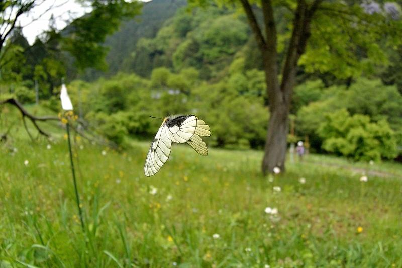 外秩父のアゲハ類(2016/5/3)_f0031682_09334080.jpg