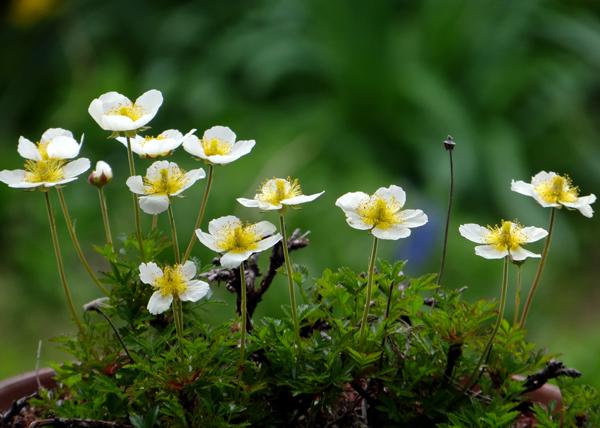 チングルマ、キバナシャクナゲなど、今咲いている山野草を少し_a0136293_17141561.jpg