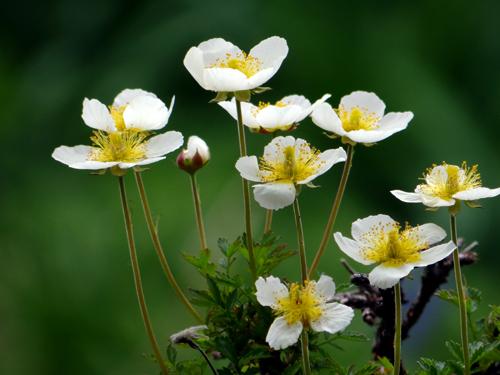 チングルマ、キバナシャクナゲなど、今咲いている山野草を少し_a0136293_17143753.jpg