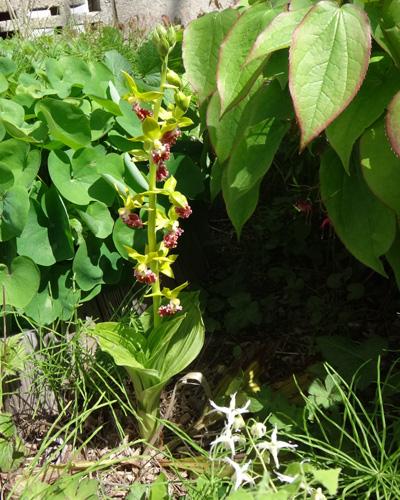 チングルマ、キバナシャクナゲなど、今咲いている山野草を少し_a0136293_17161654.jpg