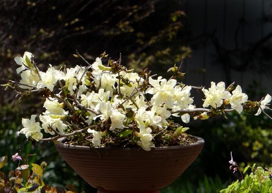 チングルマ、キバナシャクナゲなど、今咲いている山野草を少し_a0136293_17204285.jpg