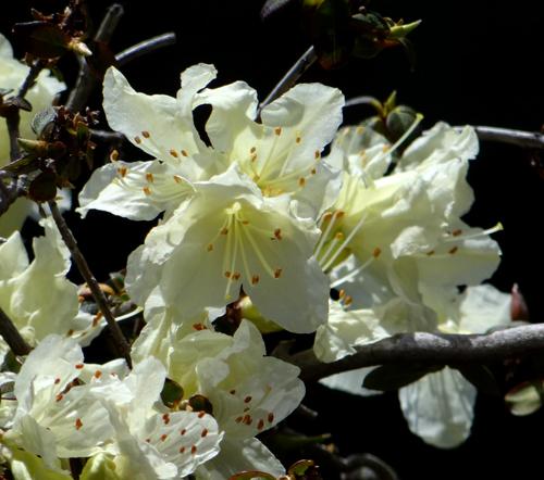 チングルマ、キバナシャクナゲなど、今咲いている山野草を少し_a0136293_1722966.jpg