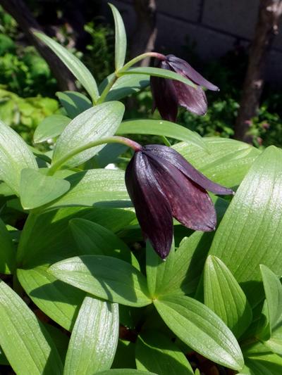 チングルマ、キバナシャクナゲなど、今咲いている山野草を少し_a0136293_17234228.jpg