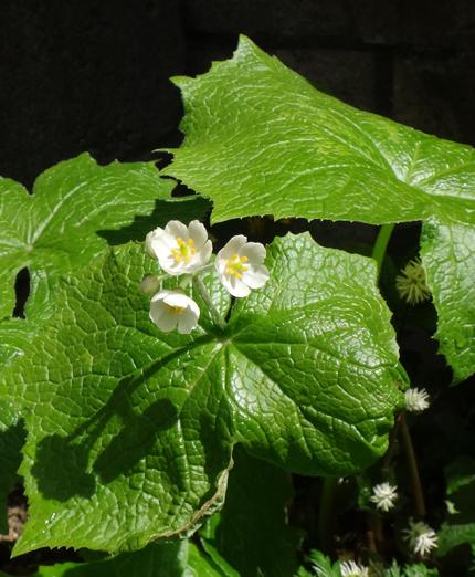 チングルマ、キバナシャクナゲなど、今咲いている山野草を少し_a0136293_1734782.jpg